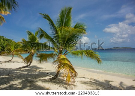 A group of three palm trees on Salomon Bay in St. John