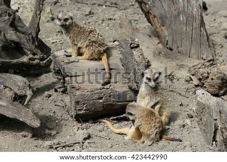 A group of three Suricate meerkat (Suricata suricatta)
