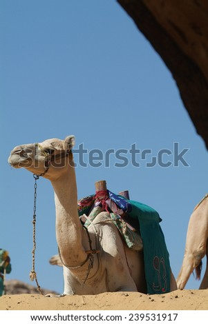 A group of tourists, led by camel drivers, take a camel ride across a portion of the Sahara Desert to San Simeon Monastery outside Aswan, Egypt.