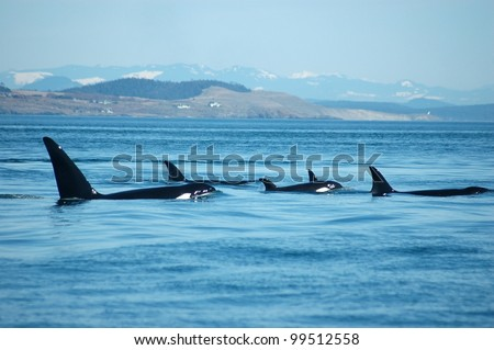 A group of transient (marine mammal feeding) orcas surfaces together, with San Juan Island, Washington in the background. - stock photo