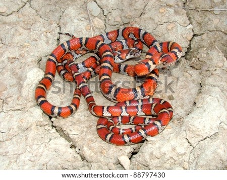 A group of vibrantly colored Coral Snake mimics - Red Milk Snakes, Lampropeltis triangulum syspila - stock photo