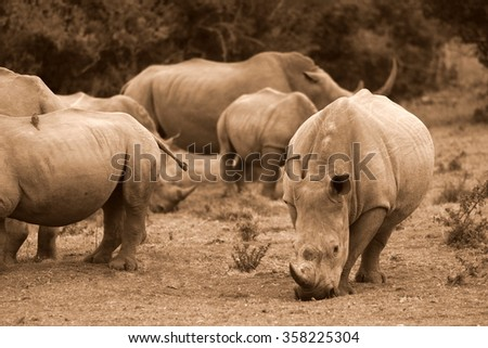 A group of white rhino / rhinoceros congregate to graze together in this photo taken on safari in South Africa. - stock photo