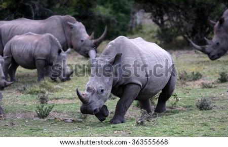 A group of white rhino / rhinoceros congregate to graze together in this photo taken on safari in South Africa.