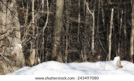 A group of white-tailed deer stand in quiet camouflage in the forest.  Winter in Wisconsin - stock photo