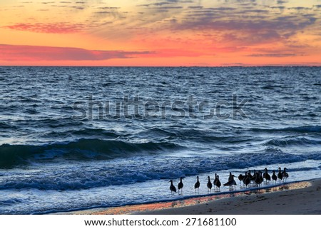 A group of willets, a sandpiper type of shore bird, wades in the surf at sundown on Florida's Gulf Coast at Lovers Key State Park - stock photo