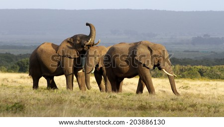 A group of young bachelor bull elephants play and communicate with each other in golden light at Addo elephant park, South Africa  - stock photo