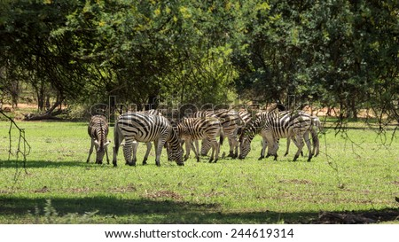 A group of Zebras grazing at the Gaborone Game Reserve in Gaborone, Botswana - stock photo