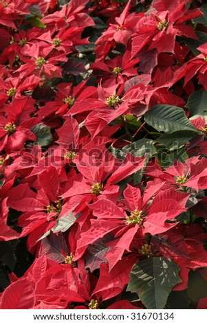A group shot of red poinsettia in a lovely garden during Christmas - stock photo