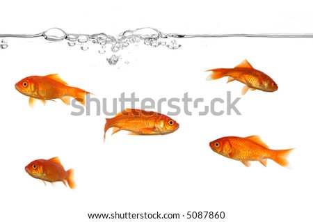 A groupe of gold fish swimming in the water. - stock photo
