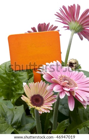 A grouping of Spring daisies in various shades of pink with a bright orange blank sign / garden stake.  Isolated on a white background.