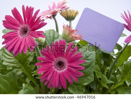 A grouping of Spring daisies in various shades of pink with a bright purple blank sign / garden stake.  Isolated on a white background.