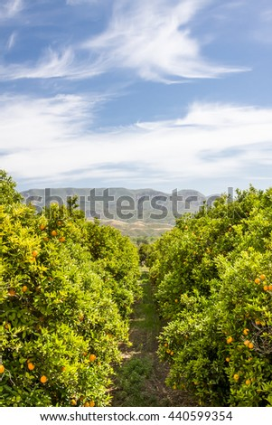 A grove of oranges on a farm in central California. - stock photo