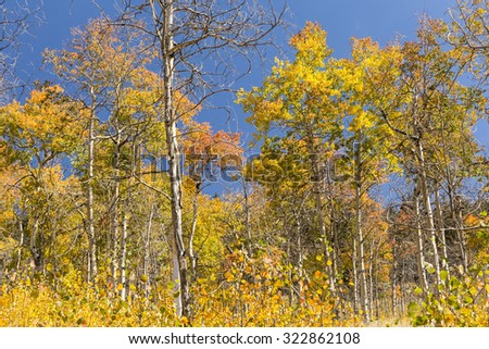 A grove of young Aspen trees in full Autumn color on the Colorado Trail in Kenosha Pass, Colorado. - stock photo