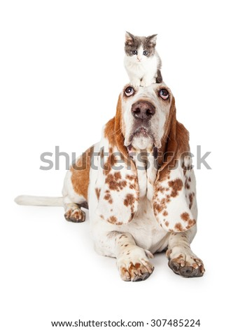 A guilty looking Basset Hound Dog laying while looking upwards.   - stock photo