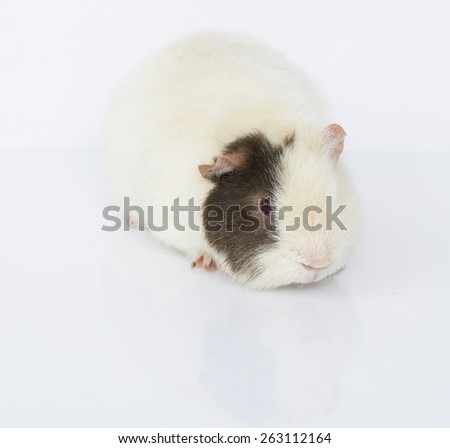 A guinea pig on a white background.  - stock photo