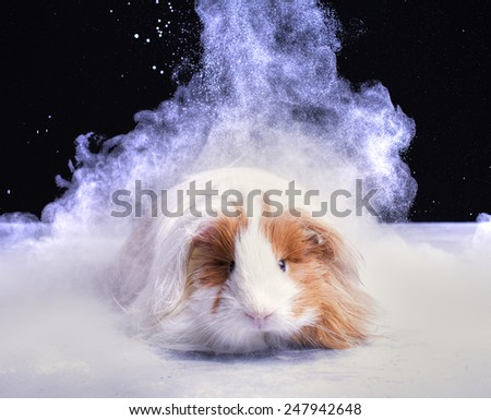 A guinea pig sits in a cloud of white powder. He seems to have appeared in the cloud, like a wizard. - stock photo