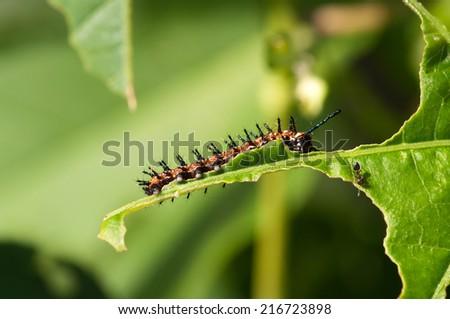 A gulf fritillary caterpillar eats a leaf. - stock photo