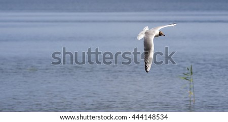 A gull flying over water
