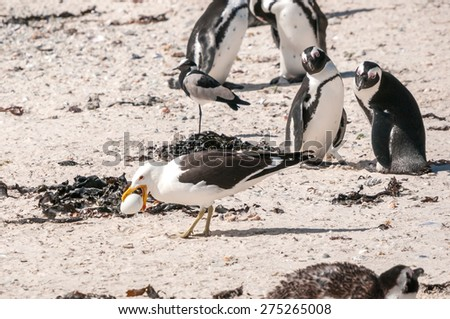 A Gull stealing the egg of an endangered African Penguin at the Boulders section of the Table Mountain National Park in Simons Town - stock photo