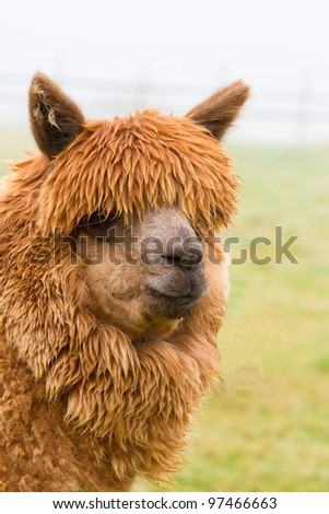 A hairy brown Alpaca in profile