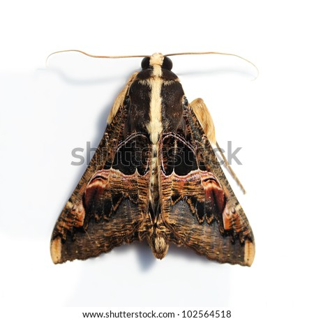A hairy moth with large wings and serrated antennae on white - stock photo