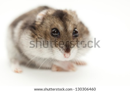a hamster gray photographed on white background - stock photo