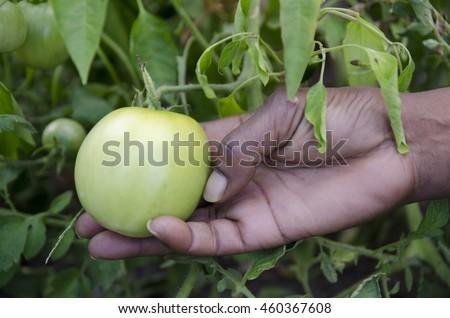 A hand holding a green tomato in an urban garden.