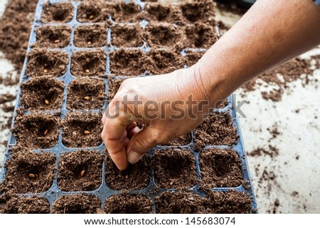 A hand sowing watermelon seed on tray  - stock photo