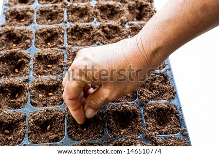 A hand sowing watermelon seed on tray with white background.