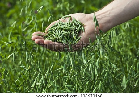 a handful close up of ripe green oats on the background of the summer field  - stock photo
