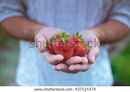 A handful of large strawberries in the hands of the man. Tasty summer harvest