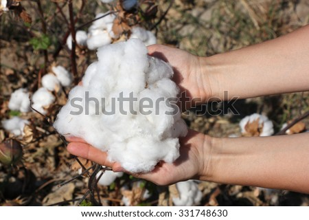 a handful of ripe cotton in the palms in the background of plants, Uzbekistan - stock photo