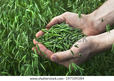 a handful of ripe green oats on the background of the summer field, harvest concept