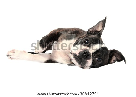 A handsome Boston Terrier on his side in front of a white background