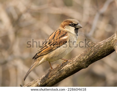 A handsome male House Sparrow perches on the branch of a dead tree to survey its surroundings as it feeds in a midwestern garden. - stock photo