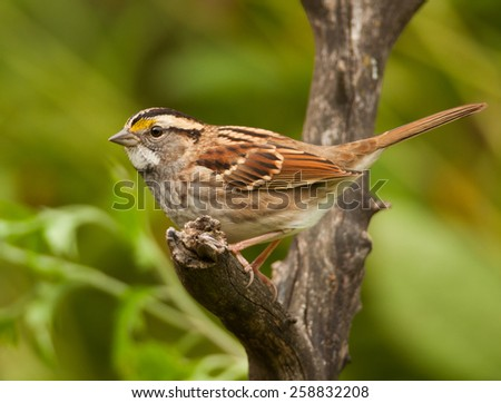 A handsome White-throated Sparrow perches on a dead branch as it approaches a midwest birdfeeding station. - stock photo