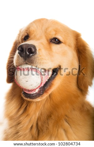 A handsome young Golden Retriever dog ready to play baseball.  He is holding the ball in his mouth. - stock photo