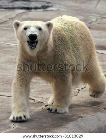 A happy adult female polar bear (ursus maritimus) walking