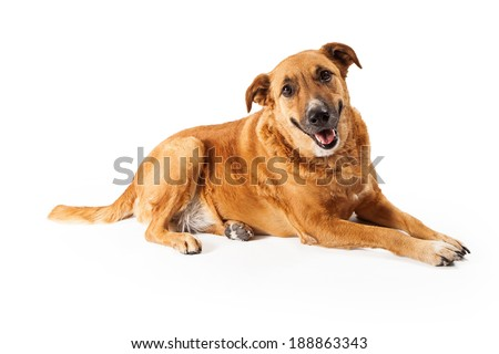 A happy adult large mixed breed golden color dog laying down with a smile on his face
