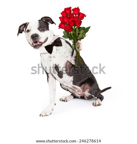 A happy and friendly Pit Bull dog wearing a black bow tie holding a bouquet of a dozen beautiful red roses - stock photo