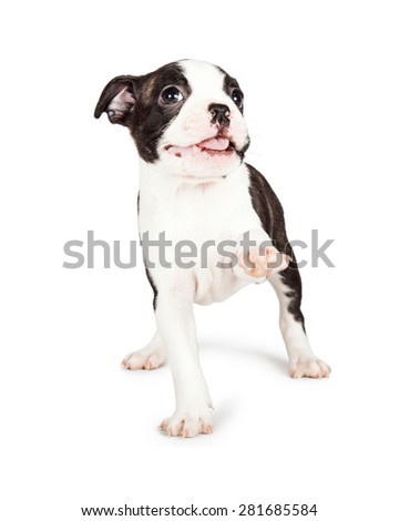 A happy and friendly seven week old Boston Terrier puppy lifting his front leg up and smiling. Place your product under his paw.