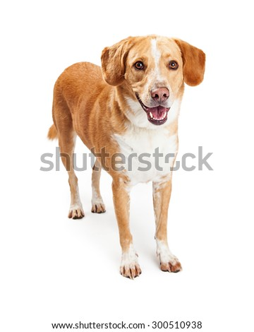 A happy and smiling Labrador Retriever and Beagle mixed breed dog standing with mouth open - stock photo