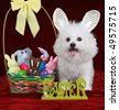 A Happy Bichon Frise Smiles as she fills in for the Easter Bunny in this Easter concept shot on red velvet - stock photo