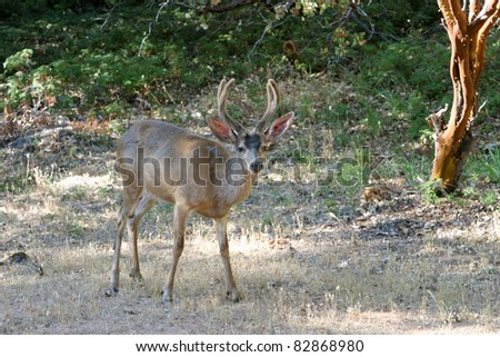 "a happy ""black tail"" deer also known as a ""mule deer""  aka ""odocoilus hemionus"" - stock photo"