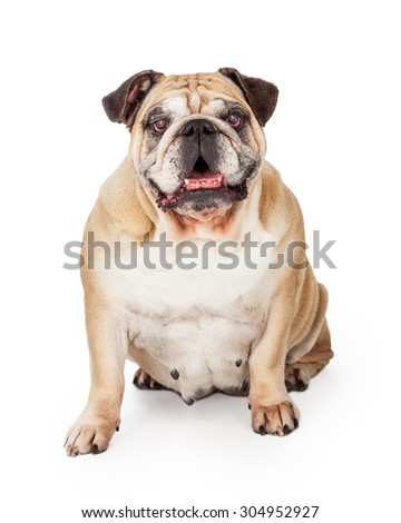 A happy Bulldog sitting facing the camera and looking into the camera.
