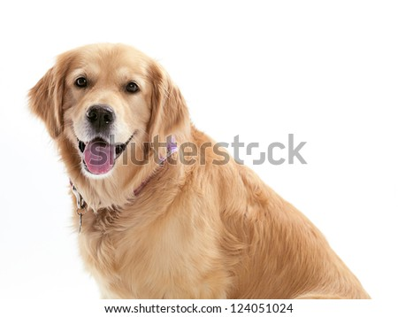 A happy dog on a white background.