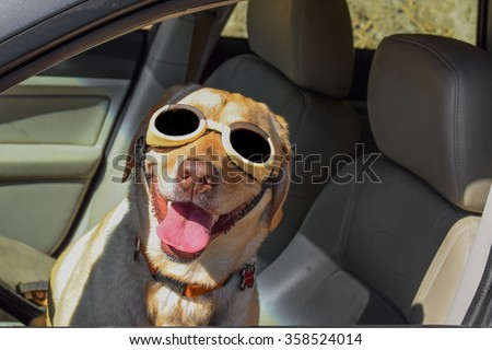 A happy dog pilot (yellow Labrador (lab) retriever) in car driver's seat wearing sunglasses (goggles) (shades) and a big smile with tongue wagging. - stock photo