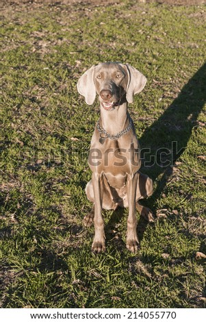 A happy dog, sitting on the grass, purebred hunting female Weimaraner, also known as silvery-gray, gray ghost or silver ghost. - stock photo