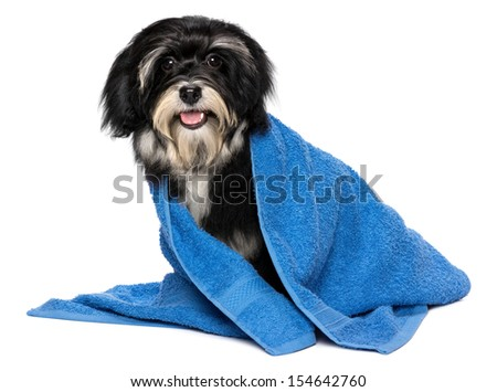 A happy dry havanese puppy dog after bath is dressed in a blue towel, isolated on white background - stock photo