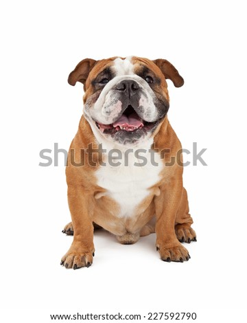 A happy English Bulldog sitting while looking forward.